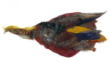 Golden Pheasant Complete Skin with Head